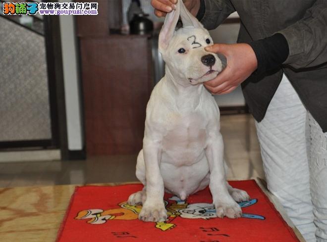 基地出售纯种杜高杜高幼犬赛级杜高犬欢迎上门看