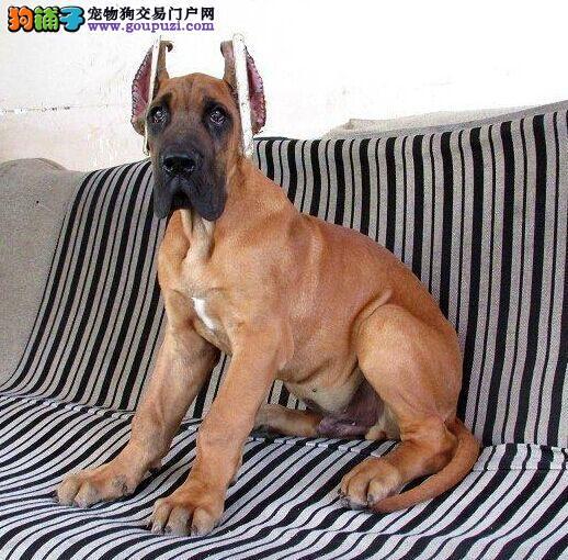大丹犬开封CKU认证犬舍自繁自销品质优良诚信为本