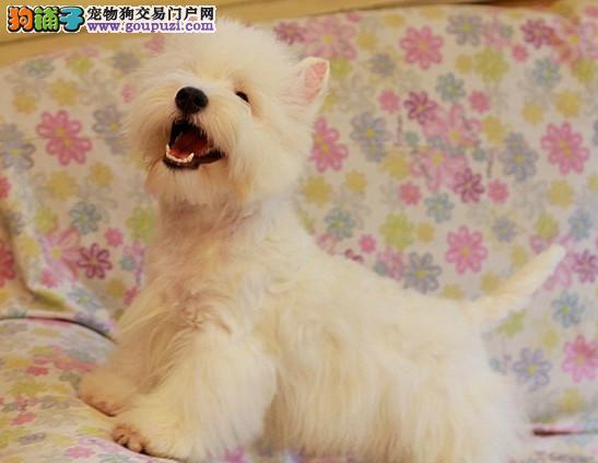 宠物狗赛级血统纯种西高地幼犬出售宠物狗狗白