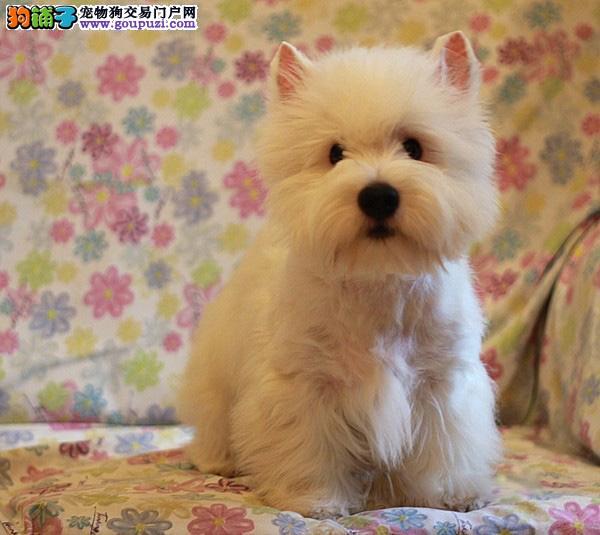 名犬销售基地长期出售西高地等名犬可上门挑选