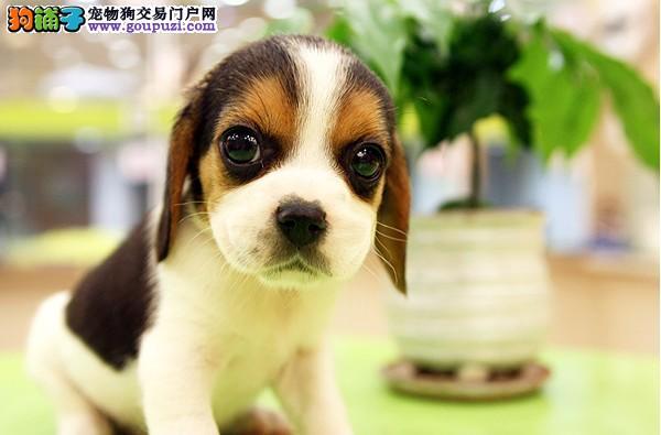 帅气的比格犬宝宝热销中!!!!!!!