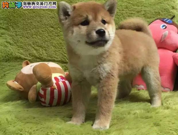 日本柴犬带血统出售中,犬舍直销多只可选,疫苗做全!