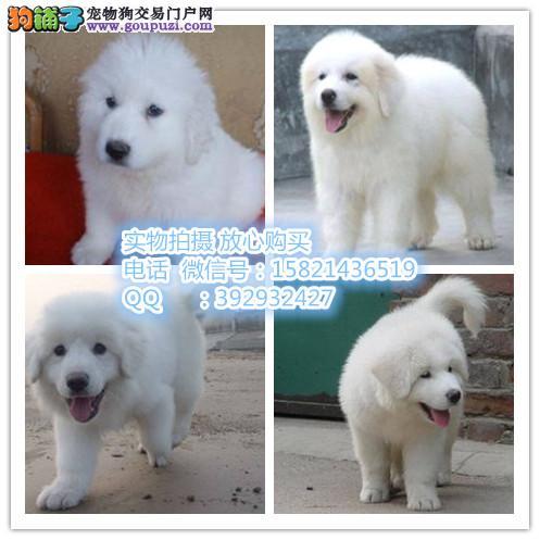 驲升犬舍 出售纯种大白熊 品质保证 签协议 完美售后
