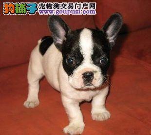 伯佳犬舍法国斗牛犬出售黑白 奶油 虎斑法牛出售