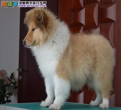 上海狗场上海狗市场上海犬舍出售苏格兰牧羊犬苏牧幼犬