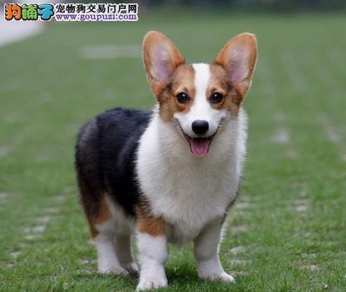 全程实物拍摄—柯基犬幼犬品质不纯—十倍退款