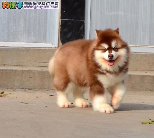 上海狗场上海狗市场上海犬舍出售阿拉斯加雪橇犬幼犬