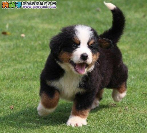 上海狗场上海狗市场上海犬舍出售上海伯恩山犬