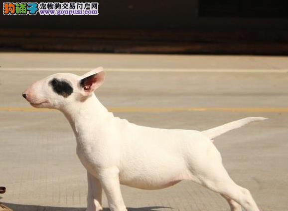 迷你标准体牛头梗幼犬个性十足超弹头健康有保牛头梗