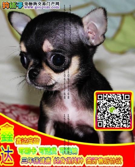 精品吉娃娃犬 微信视频 可送货可见父母签订协议