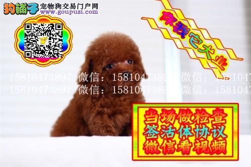 泰迪幼犬 保健康健康签协议 可送货 实物拍摄