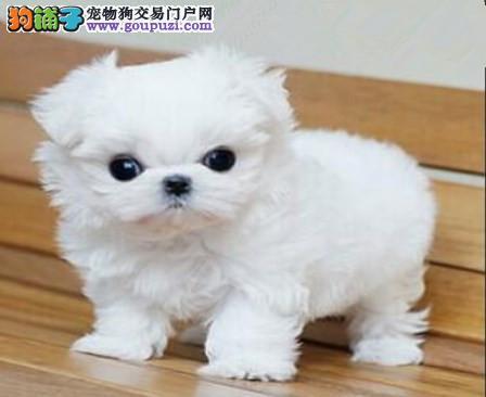 从台湾引进的纯种名贵血统的马尔济斯犬热销中