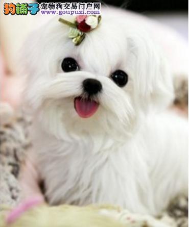 CKU犬舍认证西安出售纯种马尔济斯国际血统证书