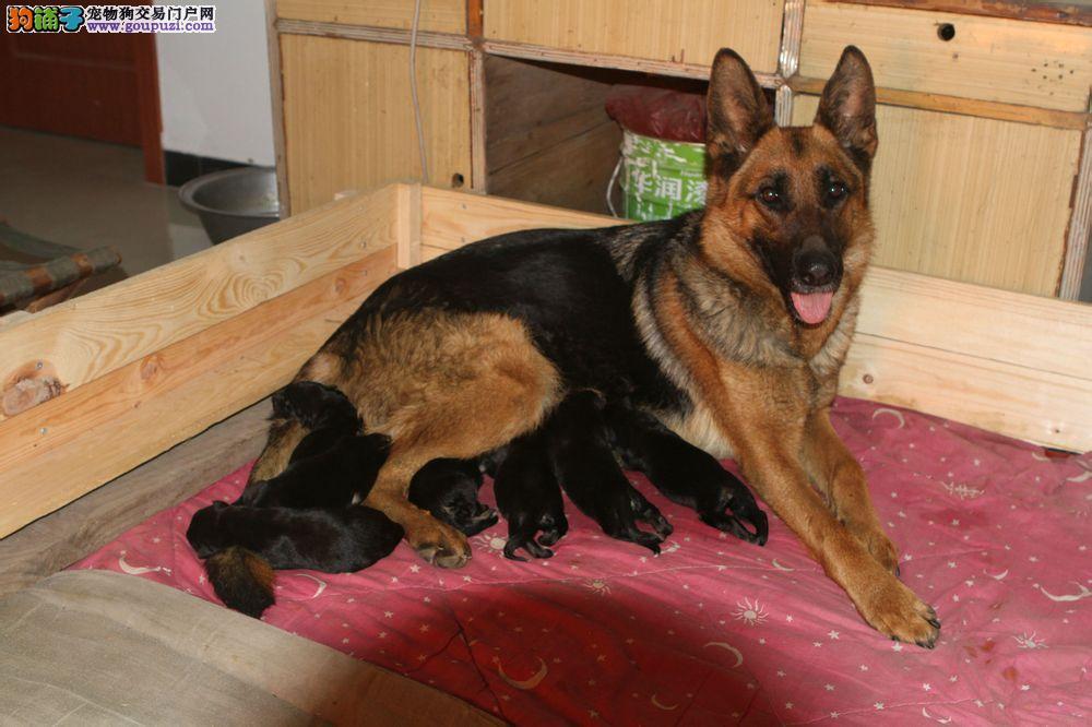 专业正规犬舍热卖优秀昆明犬赠送全套宠物用品