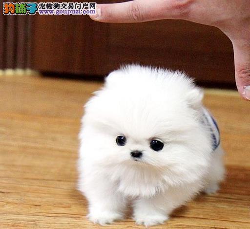 咸阳热卖茶杯犬多只挑选视频看狗可以送货上门