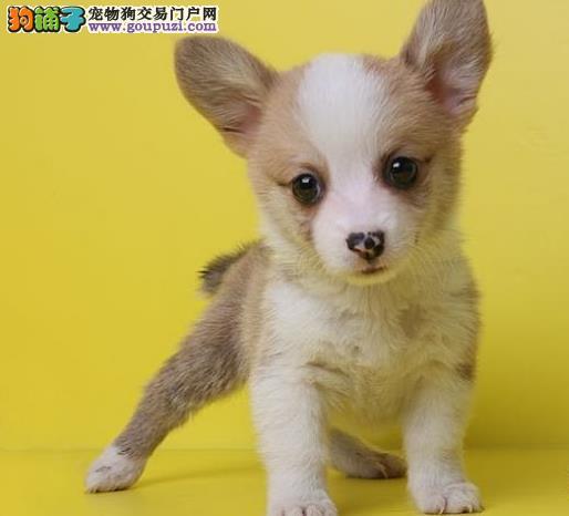 全国都有实体店__________上海出售宠物狗狗柯基犬