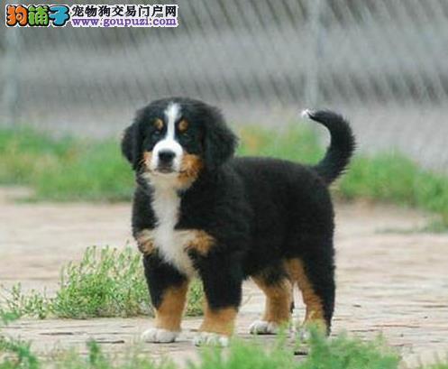 全国都有实体店________上海出售宠物狗狗伯恩山犬