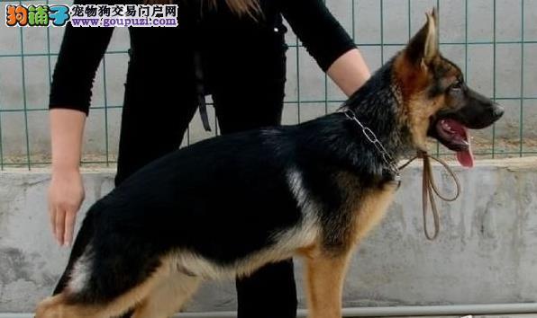 CKU犬舍认证出售高品质狼狗微信咨询看狗