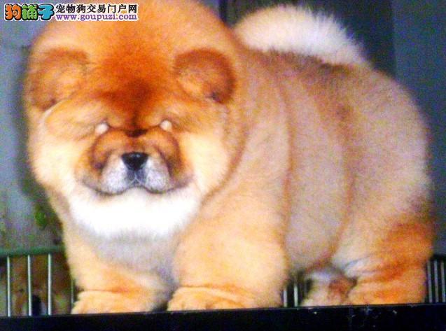 成都高品质赛级松狮幼犬出售 育苗做完 质量三包