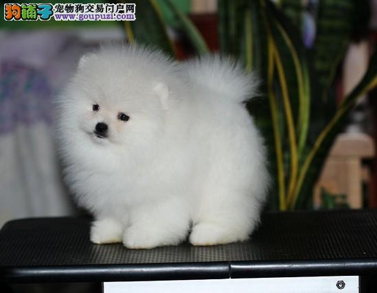 正宗哈多利球体博美幼犬出售 育苗做完 协议质保