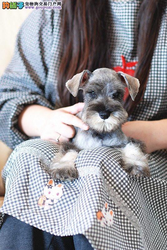 深圳高品质赛级雪纳瑞幼犬出售 育苗做完 质量三包