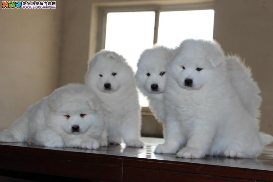 成都高品质赛级萨摩耶幼犬出售 育苗做完 包养活