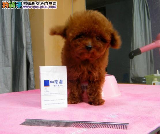 成都高品质纯种贵宾幼犬 犬舍直销出售 协议质保