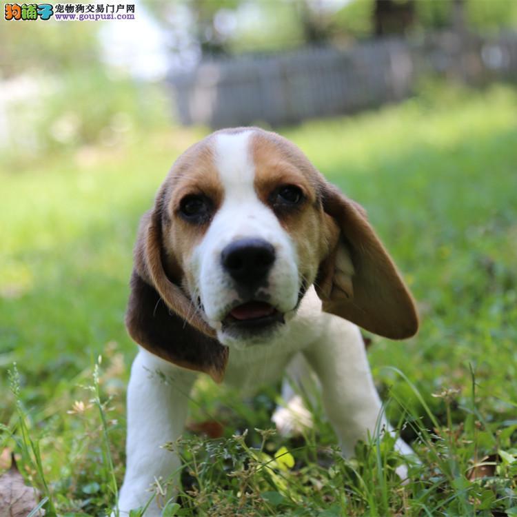 多种颜色的赛级比格犬幼犬寻找主人全国送货上门