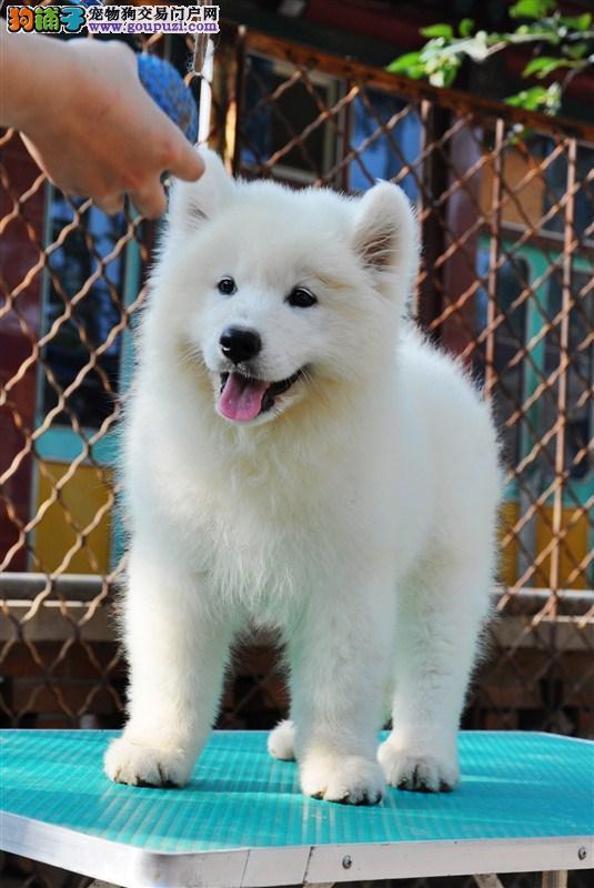 极品萨摩耶幼犬 会上厕所已驯养 爱宝品质值得信奈