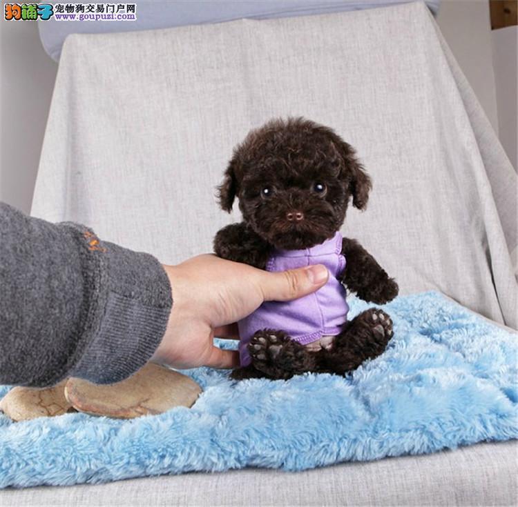 茶杯微小玩具泰迪犬 会上厕所已驯养 爱宝品质值得信奈