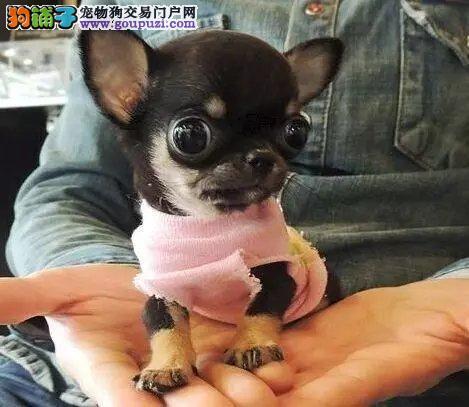 重庆长期专业出售繁殖吉娃娃 包养活