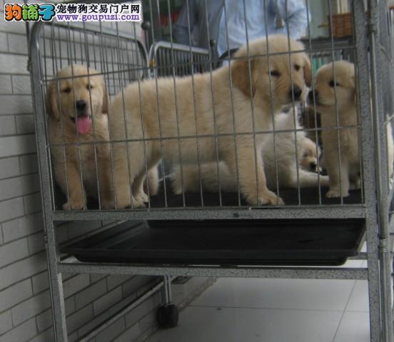 狗场直销赛级宠物级金毛幼犬健康有保障