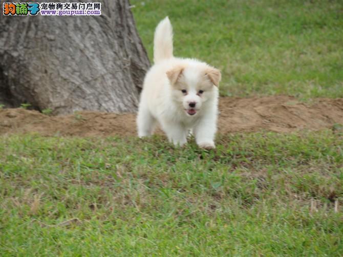 重庆赛级边牧幼犬出售 七白三通品质有保障