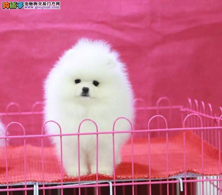 重庆狗场直销哈多利球形博美出售 终身免费售后