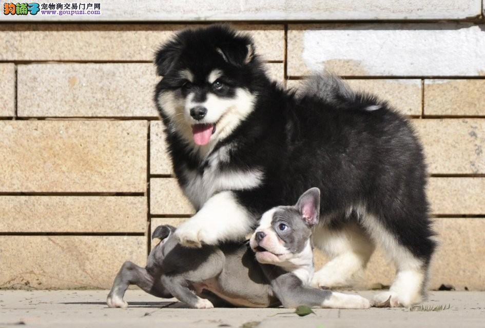 重庆巨型熊版阿拉斯加雪橇犬出售 包纯种健康