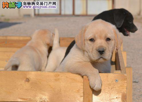 重庆纯种赛级拉布拉多幼犬 健康纯种有保障