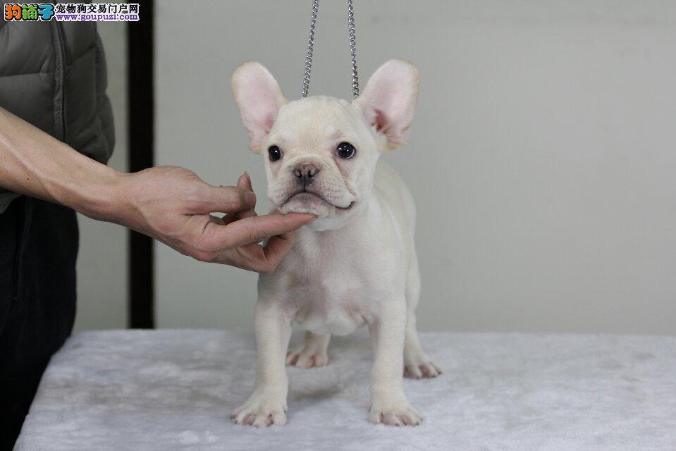 重庆狗场直销纯种法国斗牛犬 终身免费售后