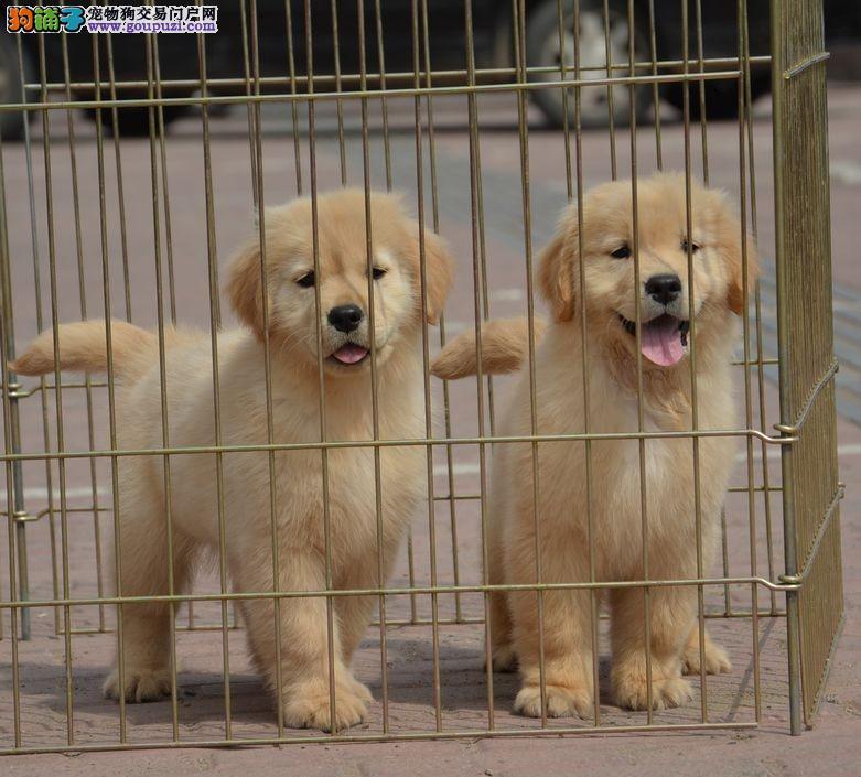 专业缔造一赛级金毛犬,高端品质的选择,你值得拥有