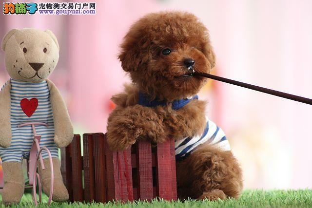 精品泰迪熊,玩具体,茶杯体,精品苹果脸,签订协议