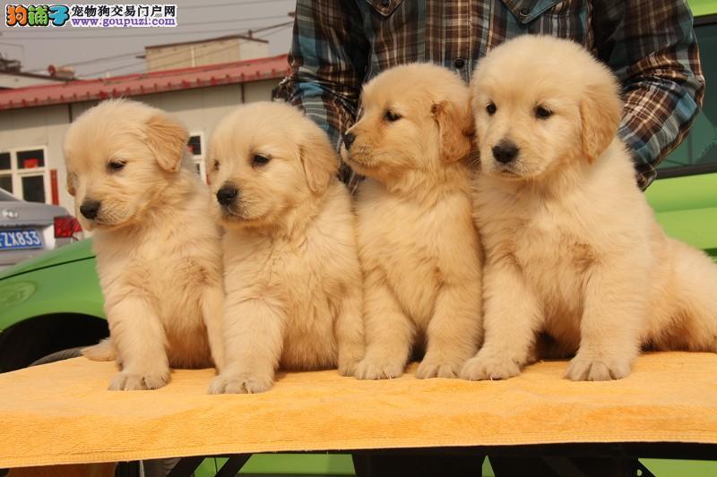 赛级金毛犬,美系英系健康保障,血统好,可签订协议