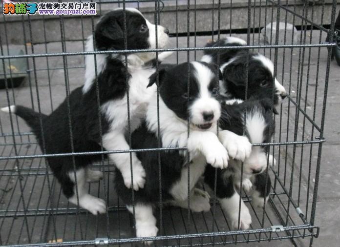 极品边境牧羊犬,纯种七白到位边牧犬,可上门挑选