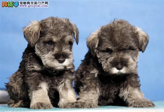 纯种雪纳瑞幼犬,椒盐色黑银色,品相好,可上门挑选