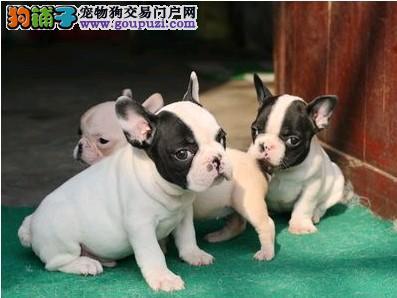 极品法国斗牛犬,黑白花色,纯正血统,在乎品质找我