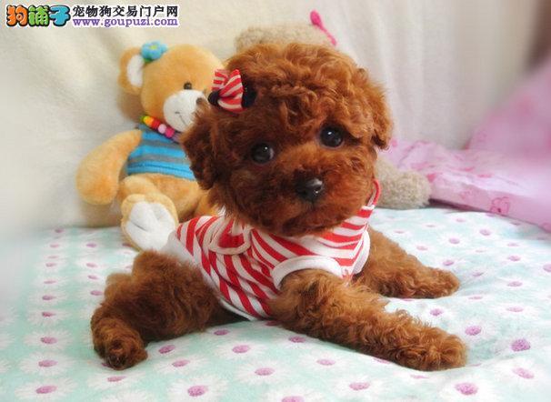 精品玩具泰迪熊宝宝,苹果脸,茶杯体,让你爱不释手