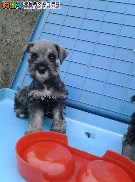 犬舍直销出售纯种雪纳瑞幼犬 健康纯种质保