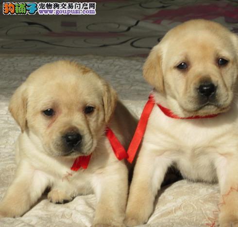 犬舍直销 高品质拉布拉多幼犬出售 协议质保