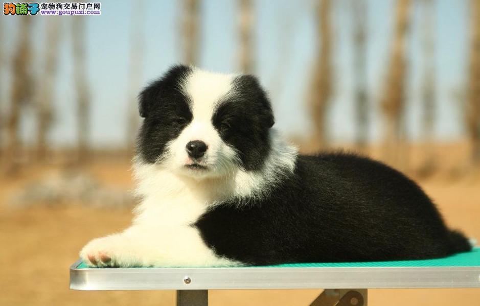 专业犬舍繁殖纯种边境牧羊幼犬 质量 品质 血统