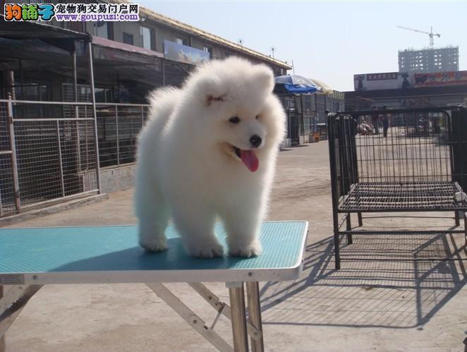 专业犬舍繁殖纯种萨摩耶幼犬 质量 品质 血统