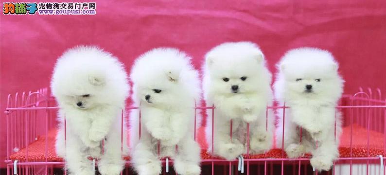 高品质纯种哈多利博美幼犬出售 包健康纯种 包养活