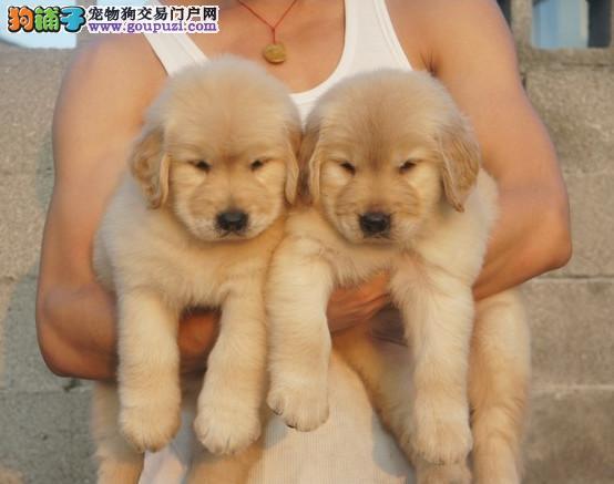 高品质纯种金毛幼犬出售 健康纯种协议质保